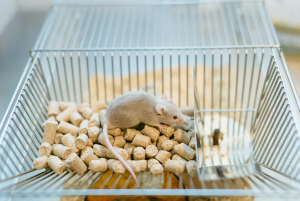 mouse in a cage being fed AIN purified diets