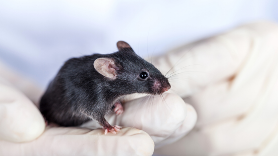 black mouse in the hands of a researcher developing caloric density custom diets
